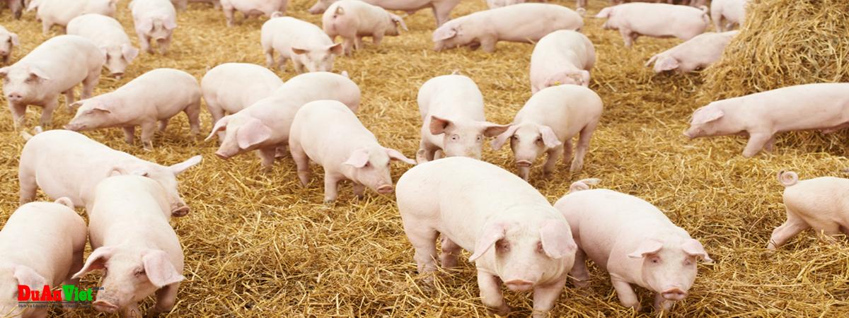 Dự án nuôi heo thịt trên nền sinh học