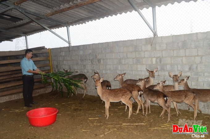 Kỹ sư lâm nghiệp nuôi hươu tại Tuyên Quang