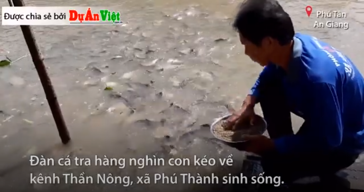 Nông dân chi tiền triệu mỗi ngày nuôi cá trên kênh Thần Nông