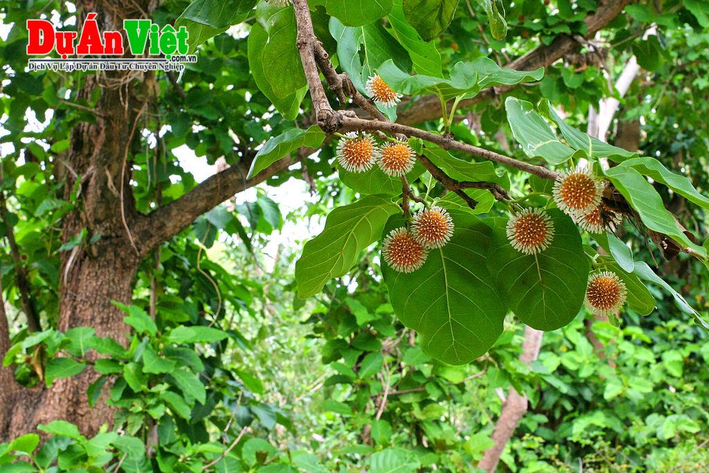 Dự án trồng cây Gáo, ba kích nhằm cải tạo tái sinh rừng bạch đàn