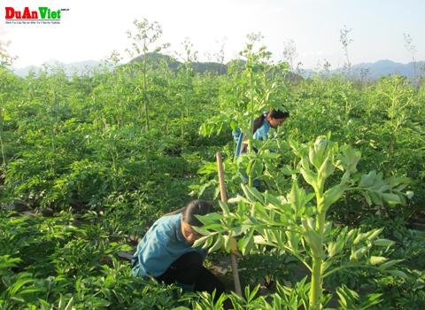 Lập dự án trồng cây dược liệu kết hợp chăn nuôi dê nhốt chuồng