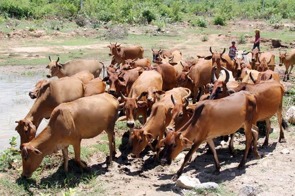 Dự án chăn nuôi bò Ninh Thuận