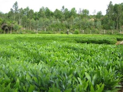 Dự án trồng rừng kết hợp chăn nuôi