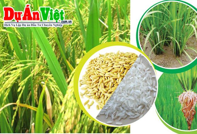 Dự án nghiên cứu ứng dụng công nghệ cao trong chọn tạo và sản xuất lúa cao sản