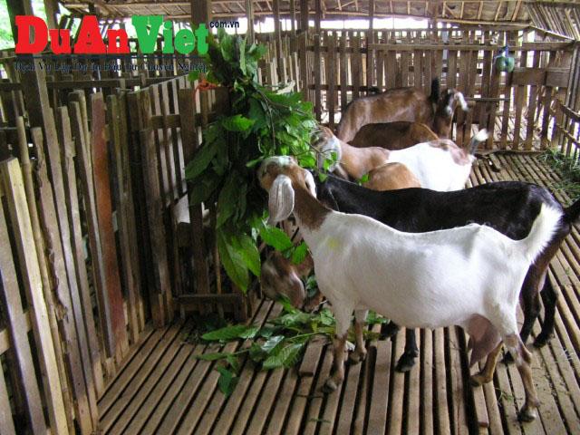Dự án nuôi dê kết hợp trồng cây dược liệu ở tỉnh Điện Biên