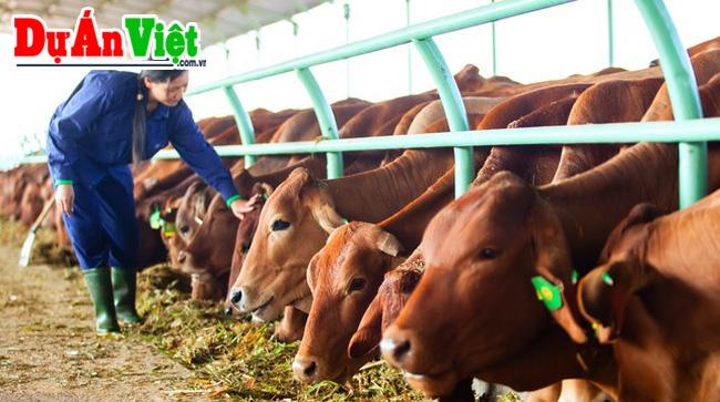 Trang trại chăn nuôi bò thịt Nông Cống tỉnh Thanh Hóa