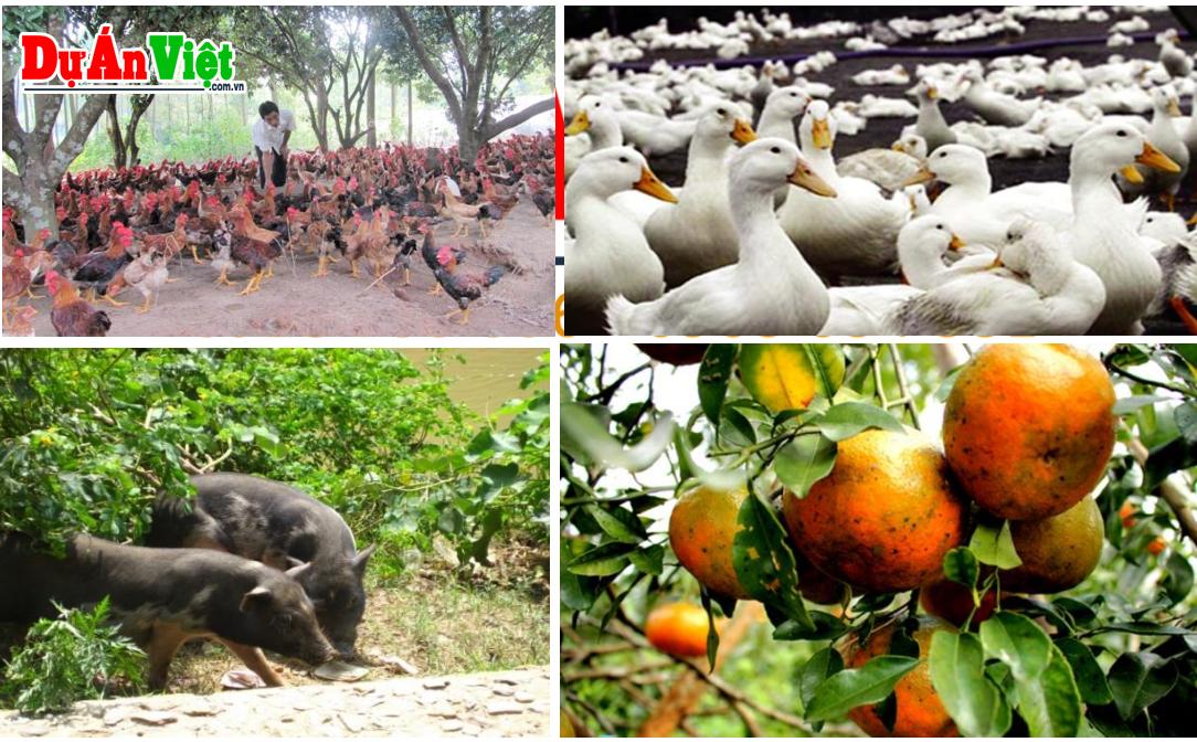 Dự án Trang trại Chăn nuôi Lợn đen - Gà Cỏ - Vịt bầu theo mô hình bán thả rong Huyện Quế Phong tỉnh Nghệ An