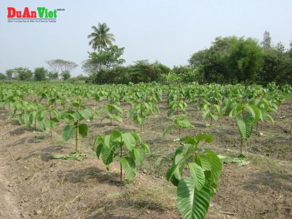 Dự án cải tạo tái sinh rừng bạch đàn bằng trồng cây gáo, ba kích