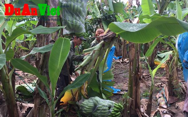 Xây dựng trung tâm chuối xuất khẩu công nghệ cao – vinabana