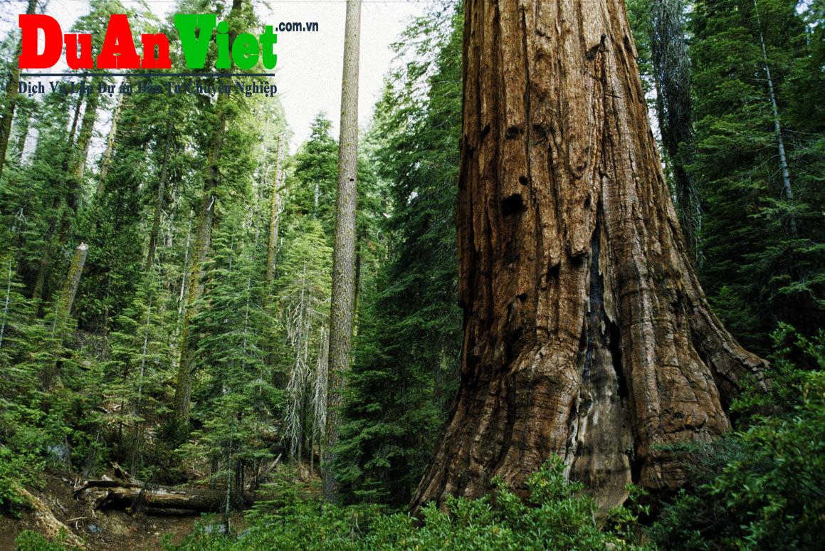 Dự án cải tạo tái sinh rừng bạch đàng