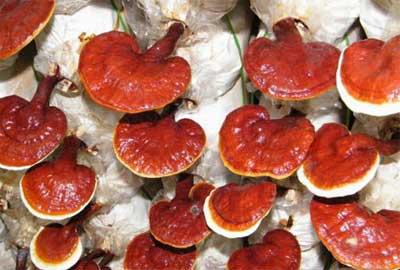 Dự án trồng nấm linh chi đỏ
