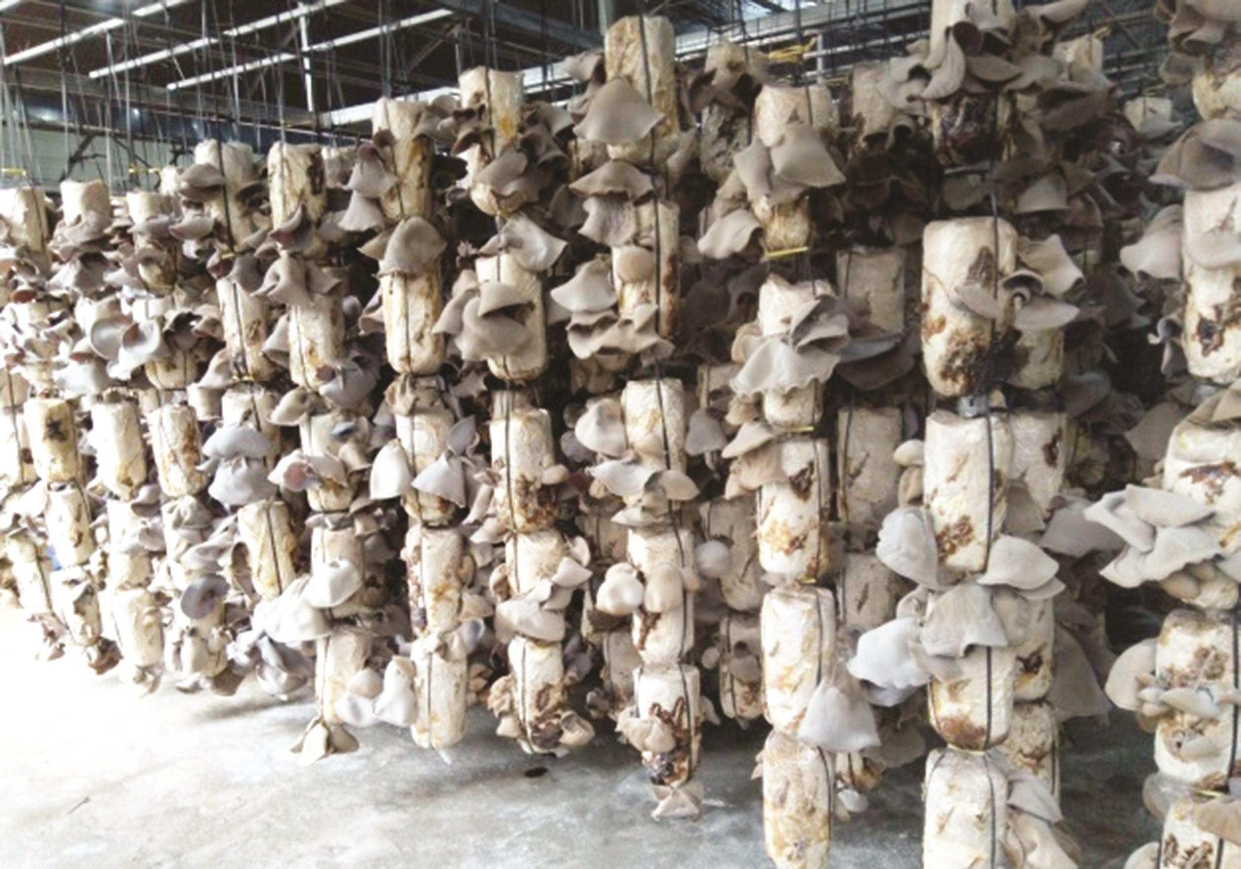 Dự án trồng nấm công nghệ cao