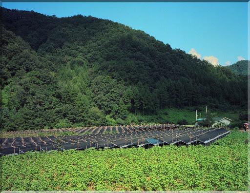 Dự án trồng rừng kết hợp trồng dược liệu