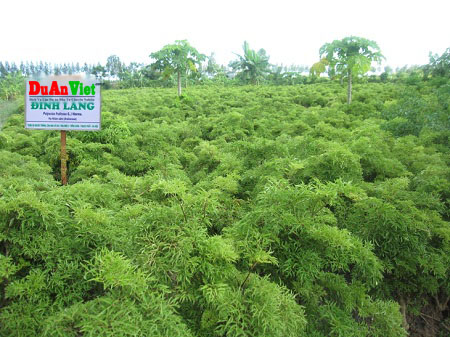 Dự án trồng cây dược liệu kết hợp ở Bình Thuận