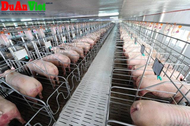 Đầu tư dự án chăn nuôi heo nái giống siêu nạc